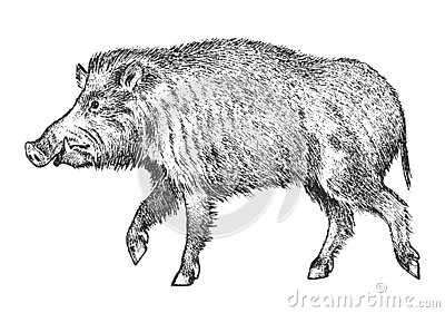 Wild boar, pig or swine, forest animal. Symbol of the north. Vintage monochrome style. Mammal in Eurasia. Engraved hand