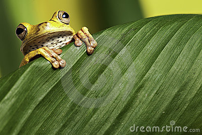 Tree frog leaf amphibian in tropical amazon jungle