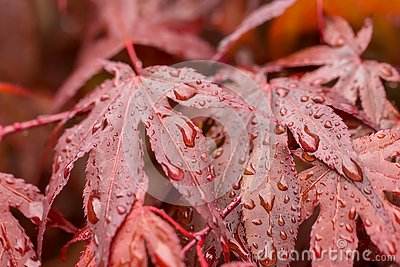 Water drops on red maple leaf