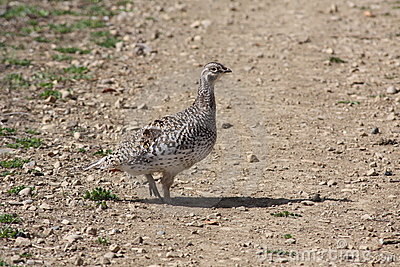 Sharptail grouse on lek