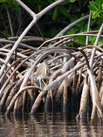 Green heron in the mangrove at Petit Canal in Guadeloupe
