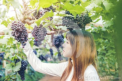 stock image of asian woman winemaker checking grapes in vineyard