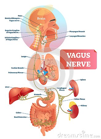 Vagus nerve vector illustration. Labeled anatomical structure and location.