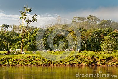 Costa Rica landscape from Boca Tapada, Rio San Carlos. Riverside with meadows and cows, tropical cloudy forest in the background