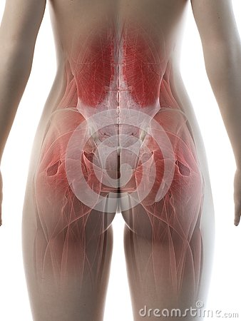 A females hip muscles
