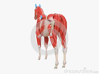 the equine muscle anatomy