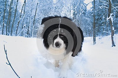 Border Colie in the winter time