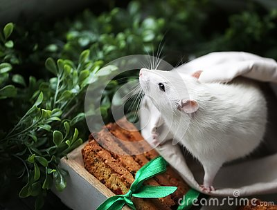 Cute little fancy pet mouse with festive baked cookies and satin ribbon bow in front of green grass and leaves backgroung with cop