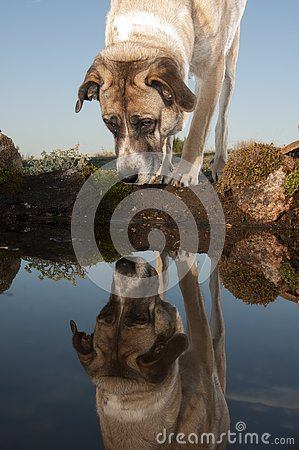 Portrait of sheepdog reflected, Mastin breed