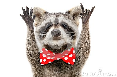 Portrait of a funny raccoon in bow showing a rock gesture