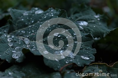 A water drops on the cabbage leaf. A dark green cabbage leaf. Raindrops on the young cabbage leaf. Raindrops macro