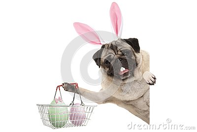 Happy Easter bunny pug dog with bunny teeth and pastel easter eggs in wire metal shopping basket