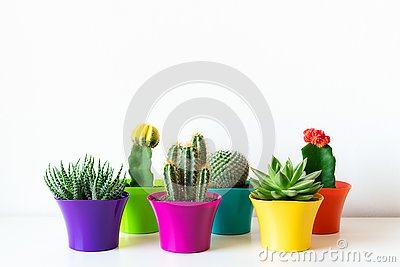 Various flowering cactus and succulent plants in bright colorful flower pots against white wall. House plants on white shelf.