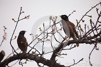 Mynas on stem of an apricot tree with blossoms