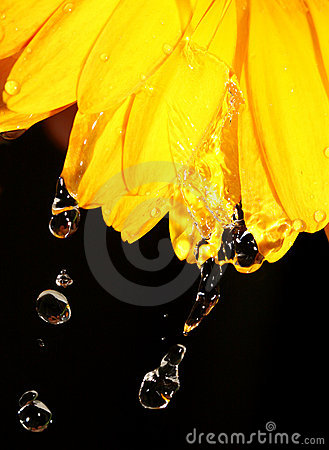 Water droplets on yellow gerber daisy on black