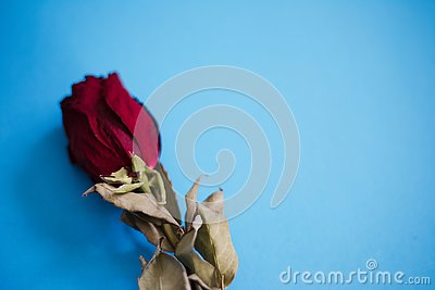 Closeup of dried red rose on the blue background.