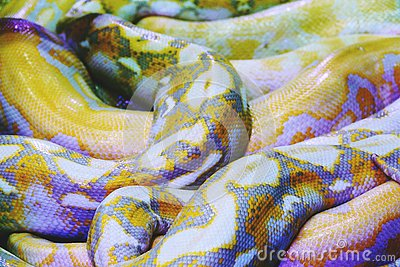 Albino python snake skin texture background close up