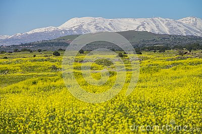 Meadows in golan Heights and hermon mount on the backgound