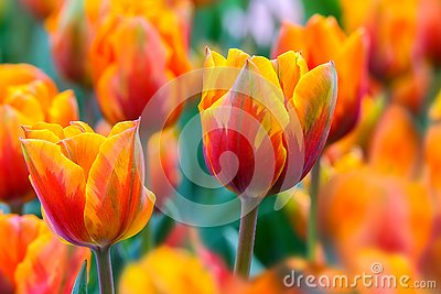 Pair of vibrant red orange tulips in the field