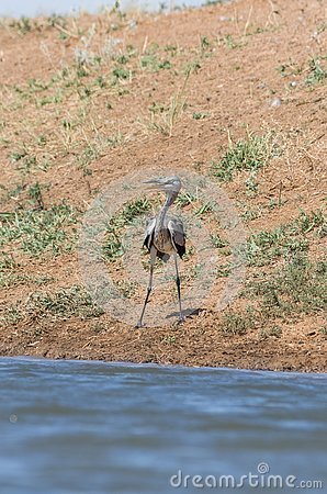 Grey heron Ardea cinerea. The bird drinks water in the canal of the river, quenches thirst during a drought.