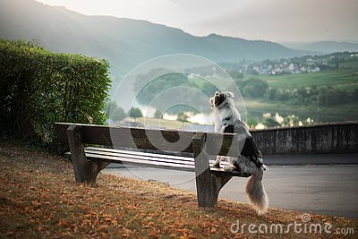 The dog sits on a bench and looks at the dawn. Marble australian shepherd in nature. Walk