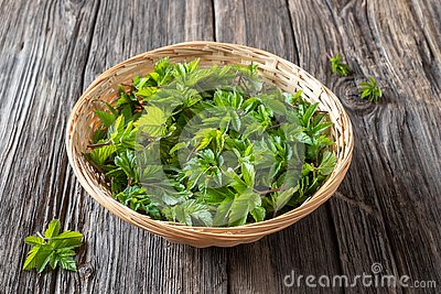 Young ground elder leaves in a basket
