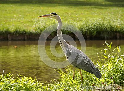 A beautiful large heron bird on the canal bank in green grass on a bright sunny day in the Dutch town of Vlaardingen Rotterdam, N