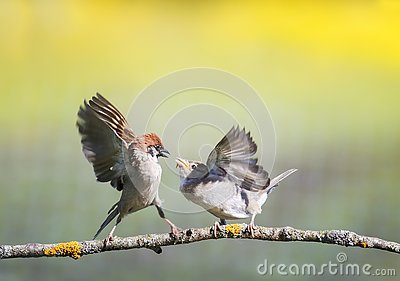 Two little funny birds sparrows on a branch in a sunny spring garden flapping their wings and beaks during a dispute