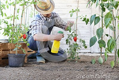 Man in vegetable garden sprays pesticide on leaf of tomato plants, care of plants