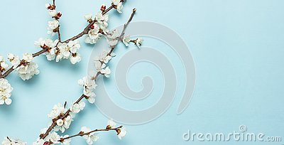 Spring background with beautiful white flowering branches. Nature Pastel blue background, bloom delicate flowers. Springtime