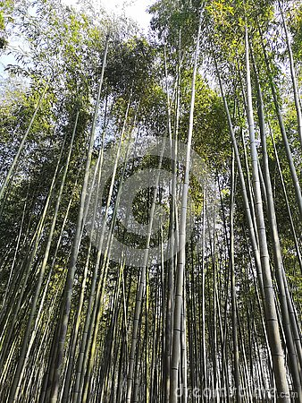 stock image of bamboo kyoto japan forest nature