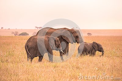 African Elephant Family with young baby Elephant in the savannah of Serengeti at sunset. Acacia trees on the plains in Serengeti