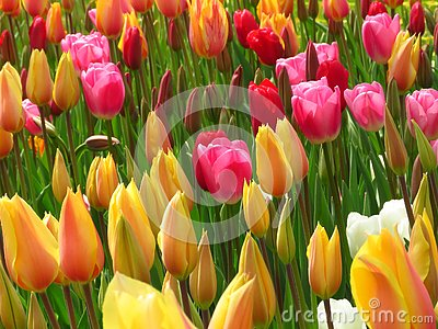 Amazing yellow red diverse tulips and tulip buds blooming in a park. Aladdin, Prince carnaval, Ruby red tulips.