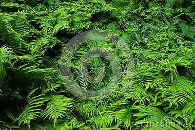 Green fresh fern plant leaves green foliage background. Natural tropical fresh green fern as concept for spring summer growth back