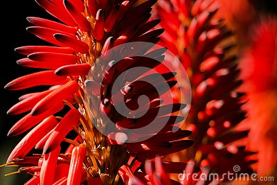 stock image of close-up of an aloe vera flower with more flowers background