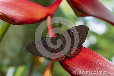A butterfly in the reserve Las nubes in the jungle of Chiapas