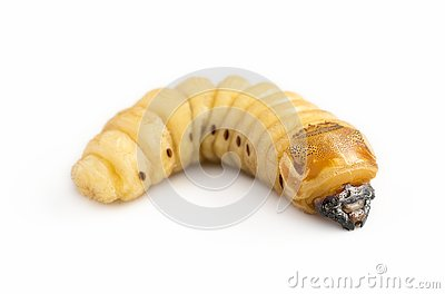 Beetle Worm of Scarab Beetle is dangerous insect pest with Mango tree borer. Batocera rufomaculata for eating as food edible