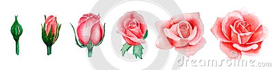 Watercolor illustration set of pink rose blooming from bud to open flower, hand-drawn, isolated on white background