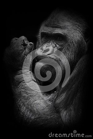 Powerful hand. The brutal muzzle face of a powerful and strong male gorilla is a symbol of masculinity and wildness. Isolated