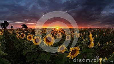 Sunflower field under dramatic dark sky and vibrant red sunset with moving clouds
