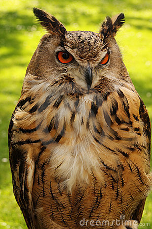 Watchful owl