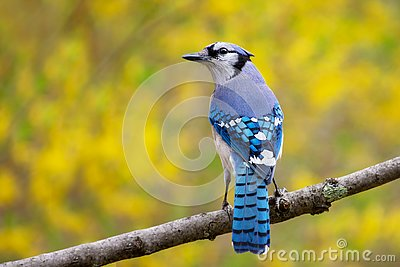 Blue jay bird perched on branch with yellow background