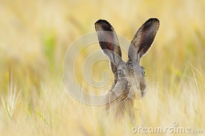 European brown hare on agricultural field in summer