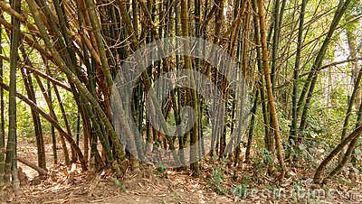stock image of bamboo tree in tropical forest in a summer noon image