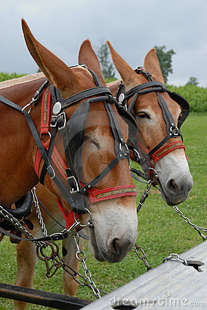 Mules hitched up