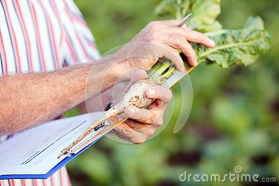 Close up of agronomist or farmer measuring sugar beet roots with a ruler and writing data into questionnaire