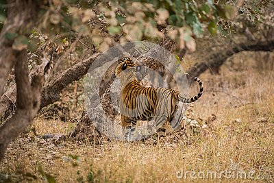 A royal bengal male tiger on stroll for scent marking in his territory. roaming in jungle crossing road. A side profile of tiger