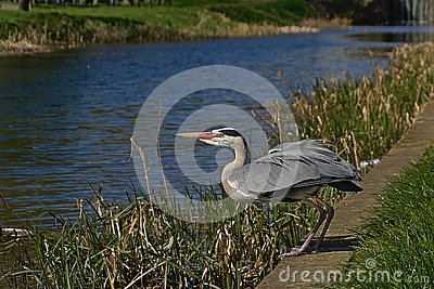 Grey heron standing, ready to lift of along a canal - Ardea cinerea