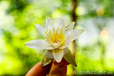 stock image of water lily in the girl`s hand