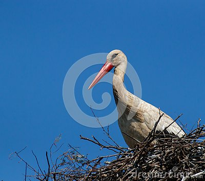White stork - European stork in the nest against the clear blue sky